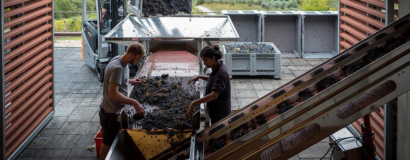Sangiovese Chianti Classico process vinification
