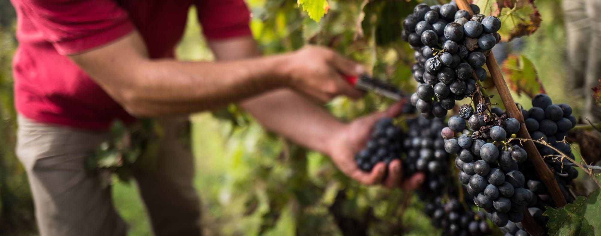 La raccolta dell'uva nei vigneti di Riecine